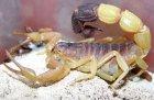 Parabuthus liosoma