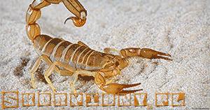 Skorpiony skorpion